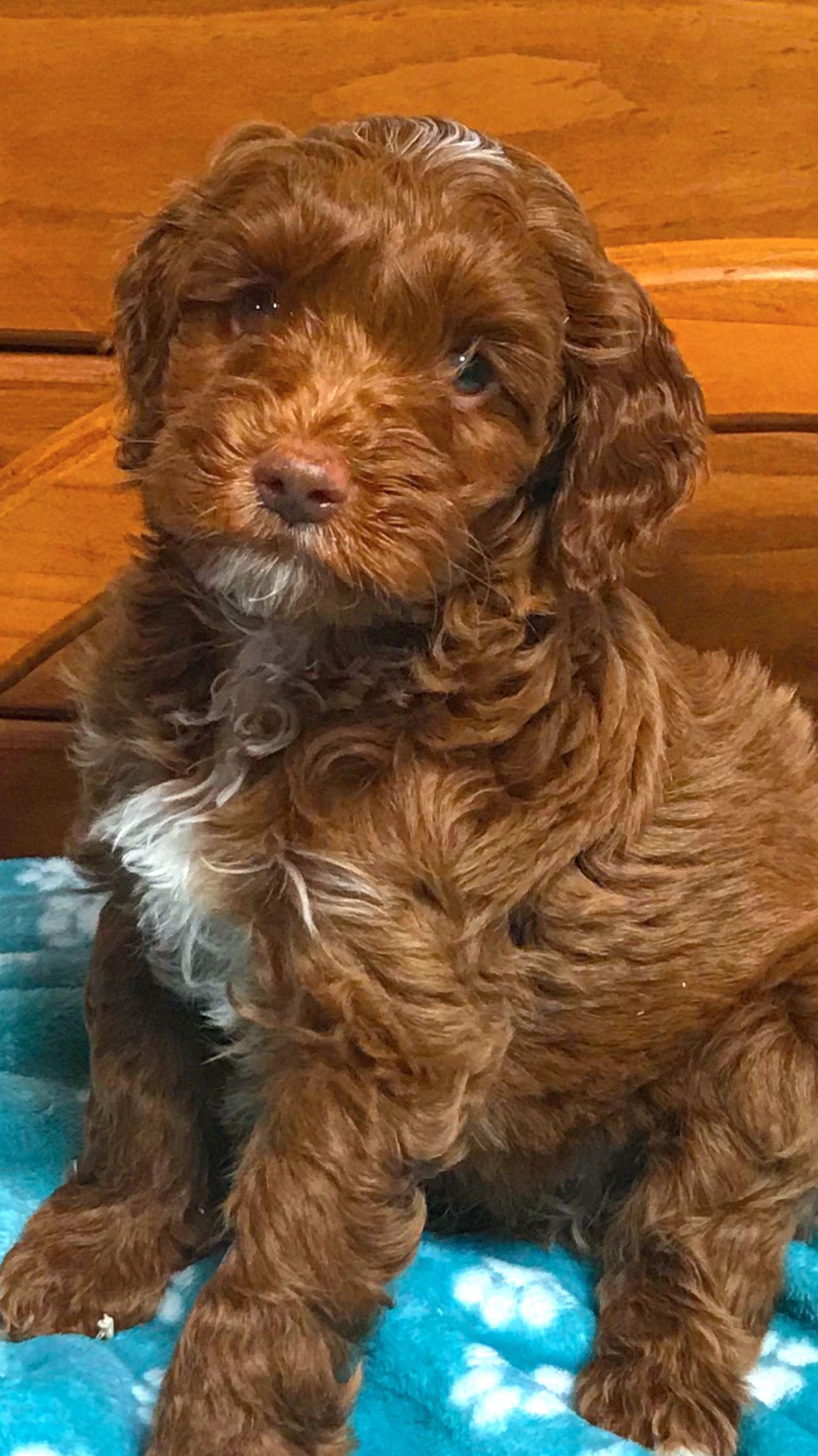 Male Puppy